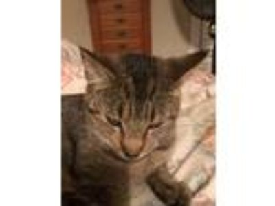 Adopt ZCL Miss Kitty a Tabby