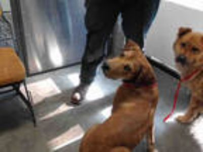 Adopt LAYLA a Brown/Chocolate - with White Labrador Retriever / Mixed dog in