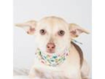 Adopt Silly a Tan/Yellow/Fawn Terrier (Unknown Type, Small) / Mixed dog in San