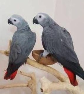 afcsaF,her African grey parrots