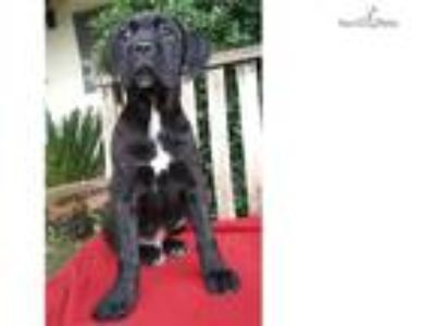 AKC & ICCF Registered Brindle Male Cane Corso Pupp