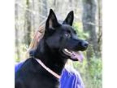 Adopt MILLIE URGENT FOSTER NEEDED a Shepherd, Labrador Retriever