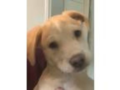 Adopt Peaches a Black Mouth Cur, Shepherd