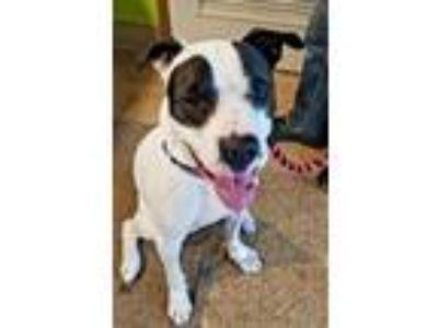 Adopt Roja a Pit Bull Terrier
