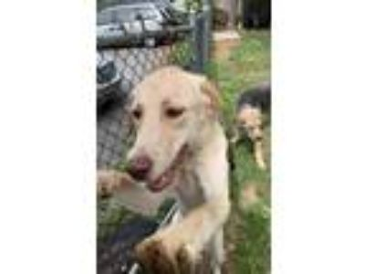 Adopt Rayne a Tan/Yellow/Fawn Labrador Retriever / Mixed dog in Red Lion