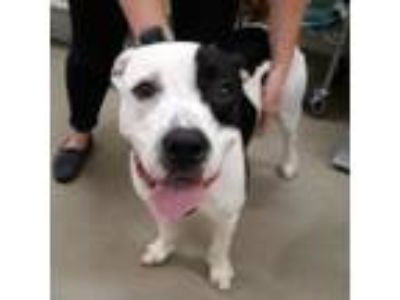 Adopt Alfalfa a White - with Tan, Yellow or Fawn American Pit Bull Terrier /