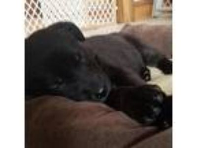 Adopt Nola a Black Labrador Retriever dog in Chaska, MN (25305741)