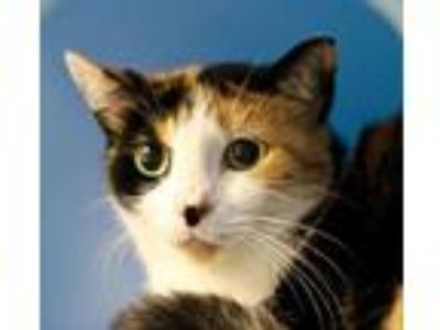 Adopt Millicent a Domestic Mediumhair / Mixed cat in Hot Springs Village