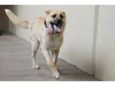 Adopt Coconut a Tan/Yellow/Fawn - with White Great Pyrenees / Shepherd (Unknown