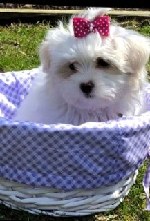 Mal-Shi PUPPY FOR SALE ADN-71660 - Mal Shi Puppies for sale