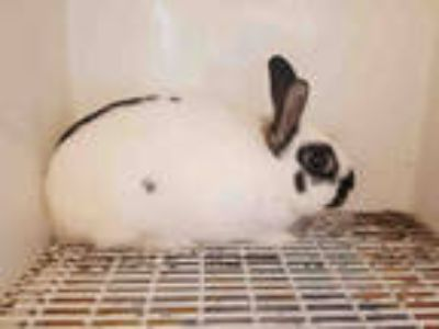 Adopt BUGS a White Other/Unknown / Mixed rabbit in Castaic, CA (25849031)