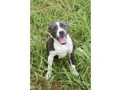 Adopt Marvelous Maude a American Staffordshire Terrier, Pit Bull Terrier