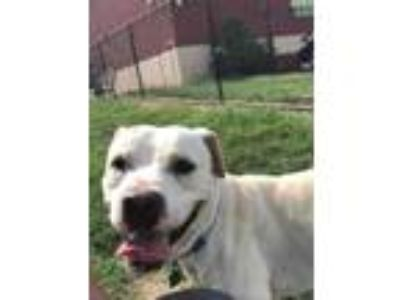 Adopt Ghost a White American Pit Bull Terrier / Mixed dog in Philadelphia