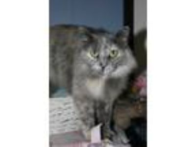 Adopt Cailee a Calico or Dilute Calico Calico (medium coat) cat in New
