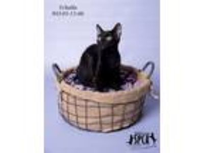 Adopt Pebbles aka T'challa - In Foster Home a Domestic Short Hair