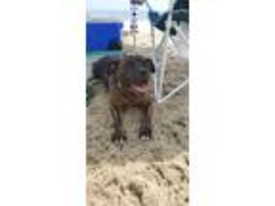Adopt Storm a Brindle Pit Bull Terrier dog in Franklinville, NJ (25801231)