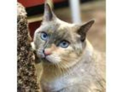 Adopt Suzie a Gray or Blue Siamese / Domestic Shorthair / Mixed cat in