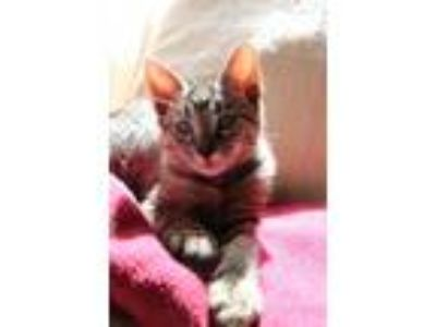 Adopt Cookie a Gray, Blue or Silver Tabby Domestic Shorthair / Mixed (short