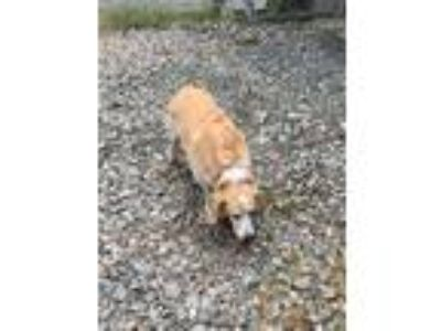 Adopt Lucky a Basset Hound / Corgi / Mixed dog in Lunenburg, VT (25328275)