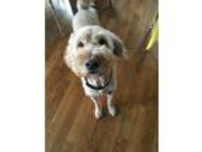 Adopt Marley a Tan/Yellow/Fawn Goldendoodle dog in Kearney, MO (25243013)