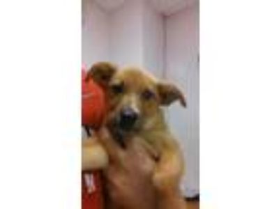 Adopt Jolly a Tan/Yellow/Fawn Terrier (Unknown Type, Small) / Mixed dog in