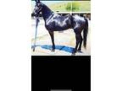 Gorgeous Friesian Sport Horse Much potential