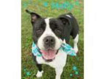 Adopt MOLLY a White - with Black Boxer / Mixed dog in Seagoville, TX (23200133)