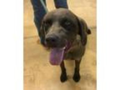 Adopt Willow a German Shorthaired Pointer