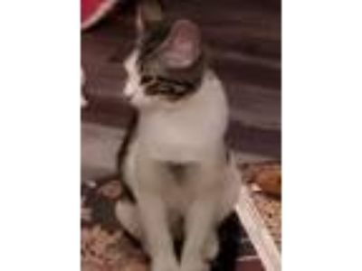 Adopt Marsha Brady a Domestic Short Hair