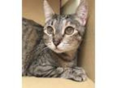 Adopt Momma Mia a Domestic Shorthair / Mixed cat in Sherwood, OR (25291505)