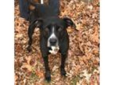 Adopt Carver a Black - with White Labrador Retriever / Pit Bull Terrier / Mixed