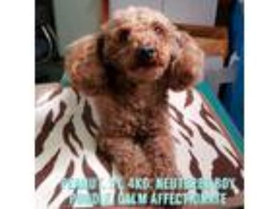 Adopt 'PEANUT' a Red/Golden/Orange/Chestnut Toy Poodle / Mixed dog in Agoura