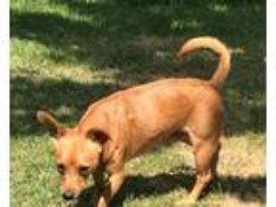 Adopt Fred a Red/Golden/Orange/Chestnut Dachshund / Mixed dog in Lexington