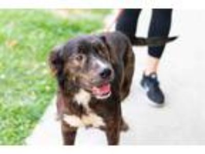Adopt JAX a Black - with Brown, Red, Golden, Orange or Chestnut Chow Chow /