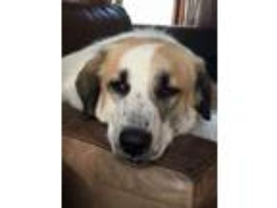 Adopt Barry - Beautiful Young Shep Mix a Shepherd, Anatolian Shepherd
