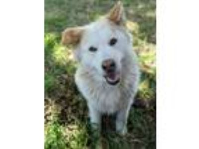 Adopt Leo a Tan/Yellow/Fawn - with White Great Pyrenees / Chow Chow / Mixed dog