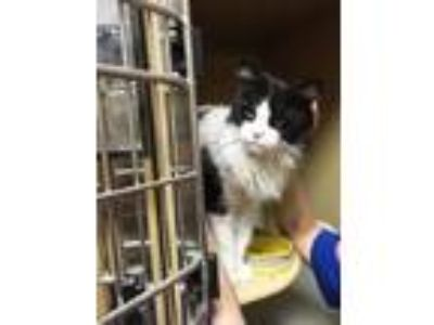 Adopt Chanel a Domestic Medium Hair, Maine Coon
