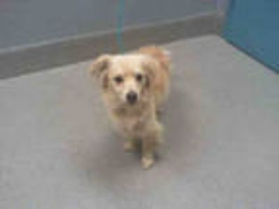 Adopt *LENNY a Tan/Yellow/Fawn Cavalier King Charles Spaniel / Mixed dog in Las