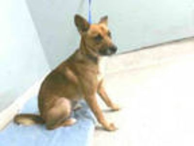 Adopt GATOR a Tan/Yellow/Fawn - with White German Shepherd Dog / Mixed dog in