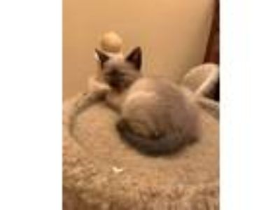 Adopt Thatcher a Brown or Chocolate (Mostly) Siamese (short coat) cat in