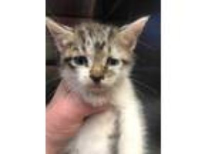 Adopt Kitten a Gray or Blue Domestic Mediumhair / Domestic Shorthair / Mixed cat