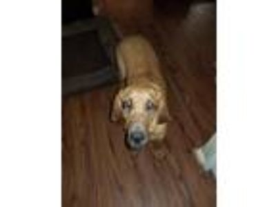 Adopt Sadie a Red/Golden/Orange/Chestnut - with Black Bloodhound / Mixed dog in
