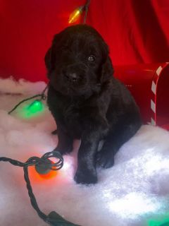 Newfoundland Puppies Dogs For Adoption Classifieds Clazorg