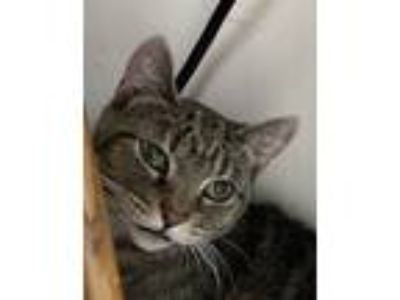 Adopt Muffin a Brown Tabby Domestic Shorthair (short coat) cat in Medford