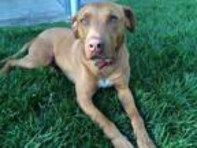 Adopt Mozzie a Tan/Yellow/Fawn - with White Vizsla / American Pit Bull Terrier /