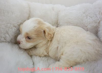 Maltipoo Puppy - Female - Bethany ($1,299)