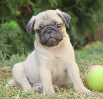 Pug PUPPY FOR SALE ADN-98907 - Healthy Pug puppies ready