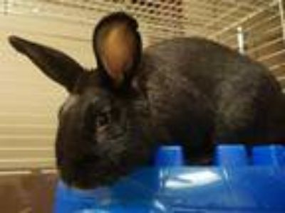 Adopt LICORICE a Black Other/Unknown / Mixed rabbit in Fort Wayne, IN (25553729)