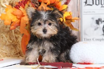 Yorkshire Terrier PUPPY FOR SALE ADN-100868 - Oliver Male teacup yorkie