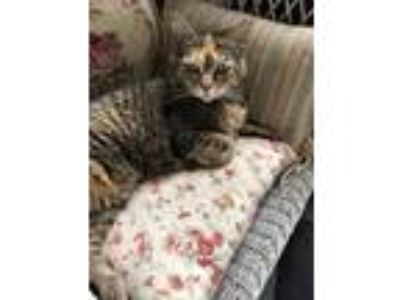 Adopt Helen a Domestic Short Hair